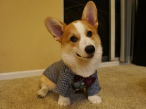 Corgnelius The Corgie